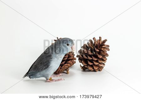 Mauve Forpus Parakeet, Bird on white background