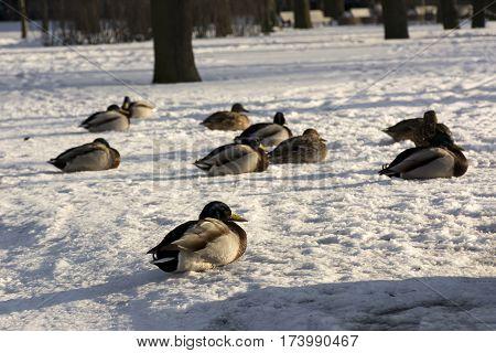 ducks birds lie on the snow in the Park Sunny day feathers beak