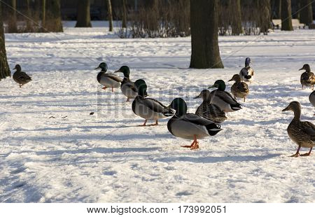ducks lined up a wedge of snow in the Park feathers birds winter sun