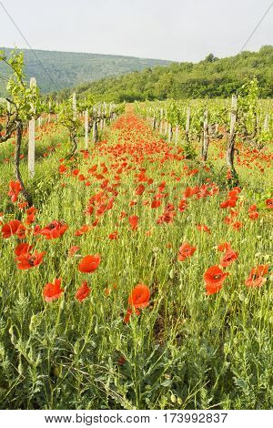 Summer landscape - many red poppies in vineyard recorded in Crimea.