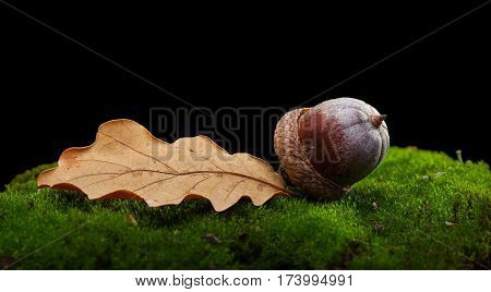 Oak Abscissed Leaf And Acorn