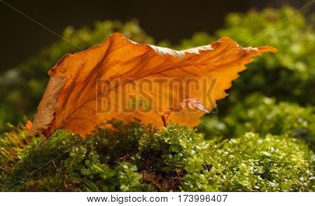 Macro of small rowan or mountain-ash (Sorbus aucuparia) in autumn growing in moss over big yellow abscissed leaf background