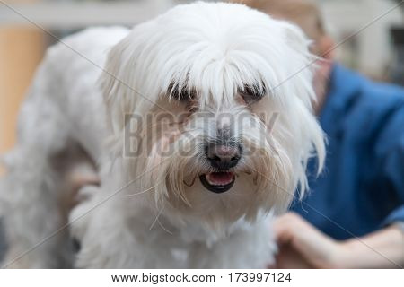 Portrait of the head of groomed white dog looking at the camera.