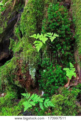 Hornbeam tree trunk moss wrapped and juvenile fern grows over, Bialowieza Forest, Poland, Europe