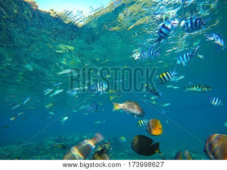Diverse coral reef fishes in blue water of tropical lagoon. Snorkeling by exotic island. Coral reef ecosystem. Colorful aquarium fish. Multicolored and striped fish swimming in sea. Ocean animals