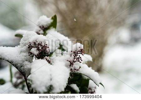 Skimmia japonica covered with snow on a winter morning