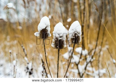 Teasel plant covered with snow on a cold morning