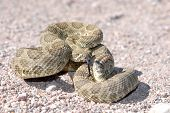 A mojave rattlesnake displaying the defensive posture in an effort to scare away potential harm. This animal was photographed in Arizona. poster