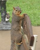 """One of our """"backyard"""" squirrels hit the back of this rocker so hard that he had to hang on tight. poster"""