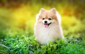 cute fluffy Pomeranian dog sitting in a spring park surrounded by yellow flowers on a sunny day poster