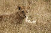 Young lion in grass in the Masai Mara poster