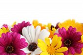 Colorful border made of spring daisies isolated on white background. poster
