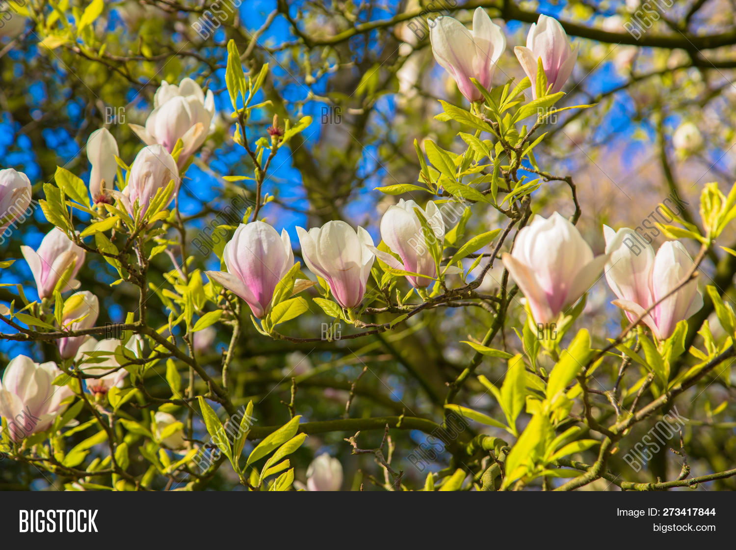 Spring White Magnolia Image Photo Free Trial Bigstock