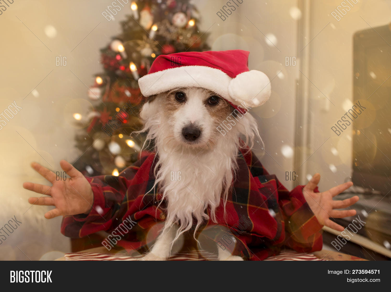 fefc107b56ea6 DOG CHRISTMAS. FUNNY JACK RUSSELL PUPPY WEARING A RED SANTA CLAUS COSTUME  WITH BEARD AND HAT AGAINST CHRISTMAS TREE LIGHTS.