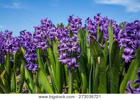 White Dutch Common  Hyacinth Flowers Close Up Low Angle Of View With Blue Sky Background