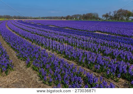 Rows Of Purple Dutch Common  Hyacinth Flowers With Blue Sky Background