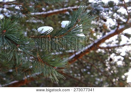 Beautiful new year pine tree branch with snow. Christmas tree in the snow. Snow on the pine. Winter forest. The spirit of Christmas. The snow on the branch. Pine under snow