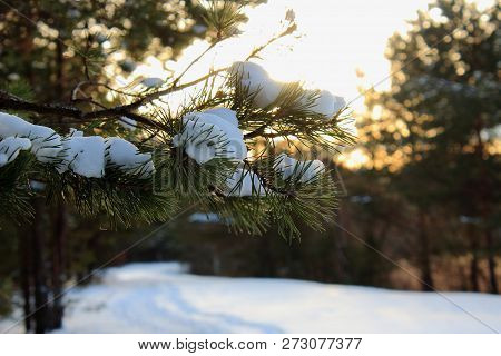 Beautiful new year pine branch with snow in the sun. Snowy road in the forest in the morning. Christmas tree in the snow. Snow on the pine. Winter forest. The spirit of Christmas. The snow on the branch. Pine under snow