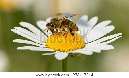 Detail Of Bee Or Honeybee In Latin Apis Mellifera, European Or Western Honey Bee Sitting On White Fl