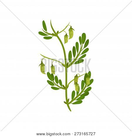 Flowering Chickpea Plant With Green Leaves. Leguminous Culture. Agricultural Crop. Flat Vector Desig