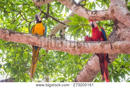 Beautiful Scarlet Macaw (ara Macao)perched With His Buddy, A Blue-and-yellow Macaw (ara Ararauna), A