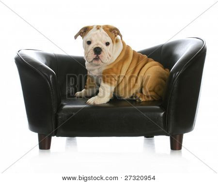 puppy on a dog bed - english bulldog puppy sitting on a dog couch - 11 weeks old poster