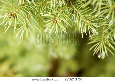 Beautiful Spruce Conifer Branch With Raindrops On It Background