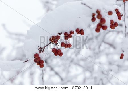 Bright Red Berries Or Fruits On Branches Of Tree With White Snow.