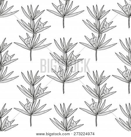 Rooibos. Leaves, Flower. Sketch. Background, Wallpaper, Seamless, Texture. Monophonic