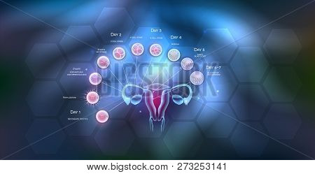 Female Reproductive Organs Uterus And Ovaries Ovulation, Fertilization By Male Sperm And Cell Develo