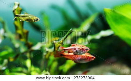 Beautiful Freshwater Aquarium Tank With Cherry Barb And Silver Tipped Tetra Fishes. Green Plants Bac