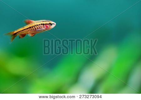Aquarium Tank Still Life Scene. Young Female Fish Red Barb Puntius Titteya Close-up. Shallow Depth O