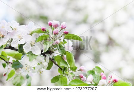 Apple Blossom Spring Time Sunny Day Garden Landscape. Blossoming White Pink Petals Fruit Tree Branch