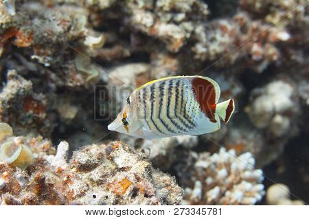 Crown Butterflyfish on Coral Reef in Red Sea off Dahab, Egypt