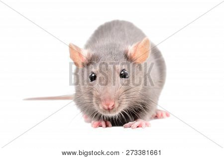 Little Gray Rat Isolated On White Background