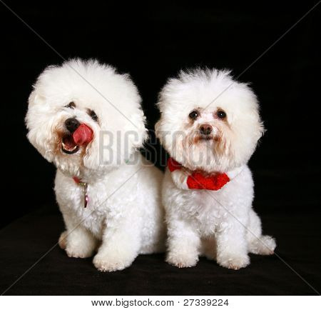 Jolie and Chloe both pure white breed Bichon Frise dogs, pose for their photos against a black velvet background