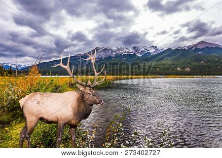 Gorgeous deer with horns grazing on the lake. Rocky Mountains of Canada. Cold wind drives a light wave in the lake. Concept of ecological, active and photo-tourism