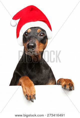 German Pinscher In Santa Red Hat Above Banner, Isolated On White Background. Christmas Animals Theme