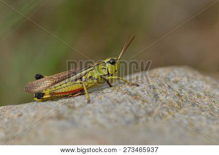 Large Marsh Grasshopper In Sweden On A Stone.