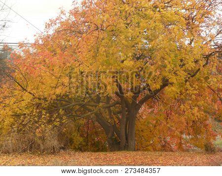 An Autumn Tree Golden In Los Gatos Trail