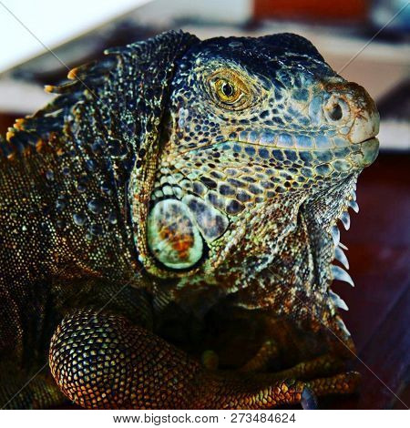 Face And Head Of A Colourful Male Green Iguana On Cozumel Island, Mexico