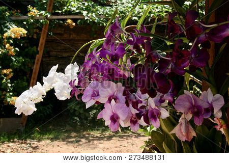 Beautiful Pink, Purple And White Sprays Of Orchids Flowering In Asia