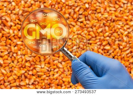 Scientist Inspecting Corn Seed For Gmo With Magnifying Glass