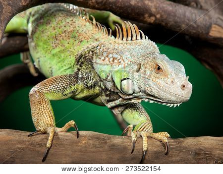Green Iguana Clambers On Branches On Dark-green Background. Animal Themes