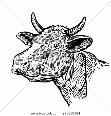 Cow Head, In A Graphic Style. Vintage Illustration Isolated On White Background. Snout Cow