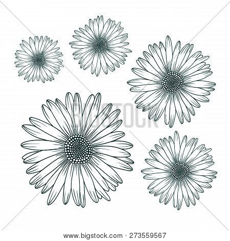 Chamomile Daisy Close Up Top View. Isolated Botanical Floral Design Element