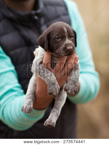 Puppy Hunting Dog, Drahthaar. Puppy In Man Hand.