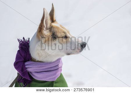 Nice Outdoor Portrait Of White Mixed-breed Dog Wearing Comforter And Coat