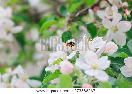 Beautiful Spring Blooming Tree, Gentle White Flowers, Fresh Apple Blossom Border On Green Soft Focus