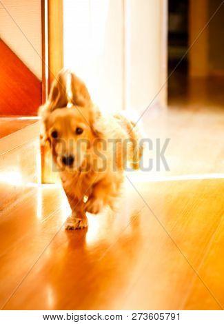 Longhair Dachshund Running On A Wooden Floor.